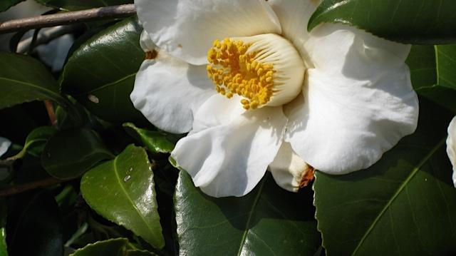 camellia-oleifera-mason-farm